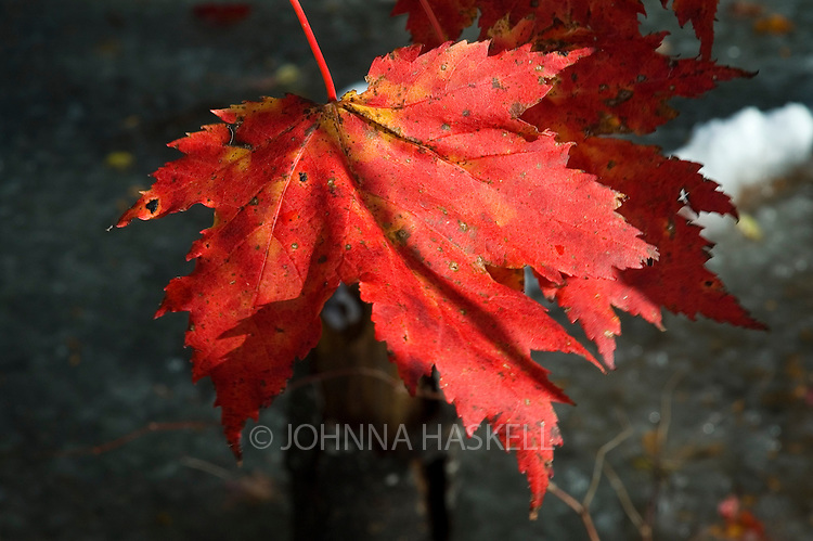 Red Maple leafs with S shaped curve belongs to the sugar maple family.