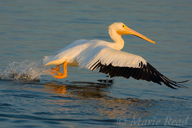 White Pelican (Pelecanus erythrorhynchos) taking flight from water, Bolsa Chica Ecological Reserve, California, USA