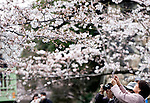 Sightseers take photos of cherry blossoms in Tokyo, Japan on 31 March, 2010.