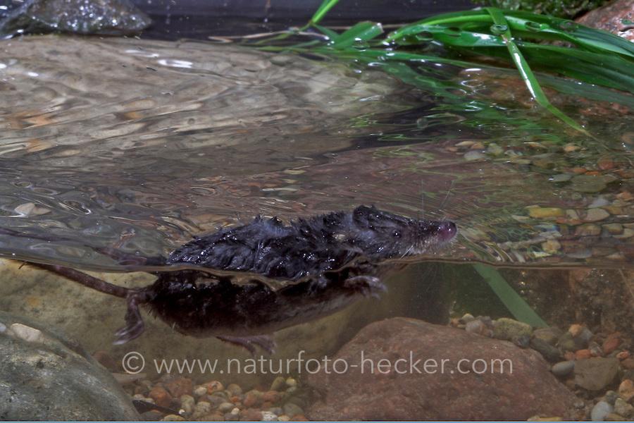 Wasserspitzmaus, schwimmend, Wasser-Spitzmaus, Spitzmaus, Neomys fodiens, Water shrew, Musaraigne aquatique, Crossope