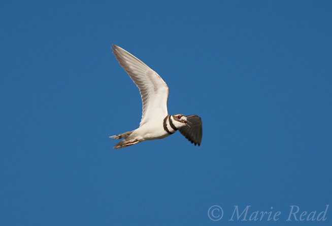 Killdeer (Charadrius vociferus) calling in flight, Mono Lake Basin, California, USA