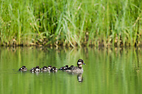 Female bufflehead duck swims in a pond with her clutch of ducklings, Interior, Alaska