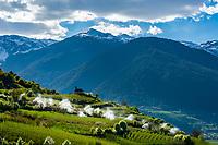 Italy, South Tyrol (Trentino - Alto Adige), Val Venosta, near Tschengl (Italian: Cengles): irrigation during apple blossom   Italien, Suedtirol (Trentino - Alto Adige), Vischgau, bei Tschengls: Bewaesserung zur Zeit der Apfelbluete