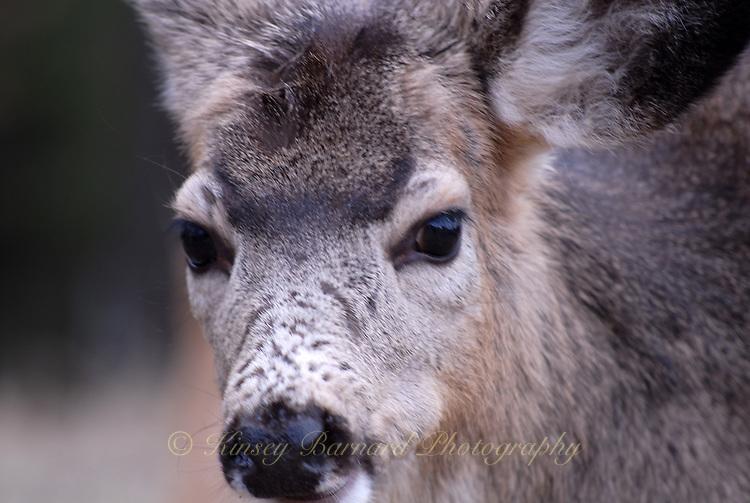 Yearling Mule Deer