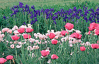 Garden with purple iris and pink poppies. #5679. Virginia.