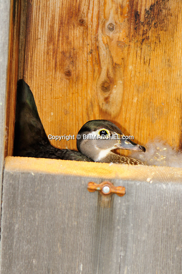 00360-117.15 Wood Duck: Hen wood duck is in nesting box incubating eggs.  Hunt, breed, manage, shelter.
