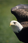 Bald eagle with wings outstretched captive at the Woodland Park Zoo Seattle Washington State USA