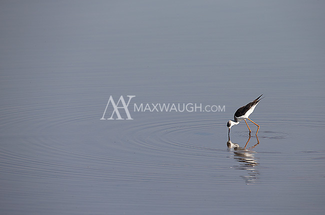 A black-winged stilt wades in a river in Kruger National Park.