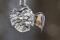 Kleiber, Spechtmeise, selbstgemachtes Vogelfutter in einem Zapfen, Vogelfütterung, Fütterung, Fettfuttermischung, Fettfutter, Winterfütterung, Winter, Schnee, Sitta europaea, Nuthatch, bird's feeding, Sittelle torchepot