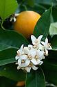 Orange (Citrus sinensis 'Valencia Late').