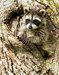 Baby raccoon crawling out of a tree hole.<br /> <br /> Available sizes:<br /> 12&quot; x 18&quot; print <br /> 12&quot; x 18&quot; canvas gallery wrap <br /> 16&quot; x 24&quot; print<br /> See Pricing page for more information Also available as a mousepad or greeting cards.