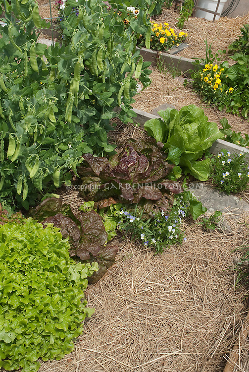 Vegetable garden mulched with straw, growing sugar snap peas, red and green lettuce varieites, viola flowers in spring