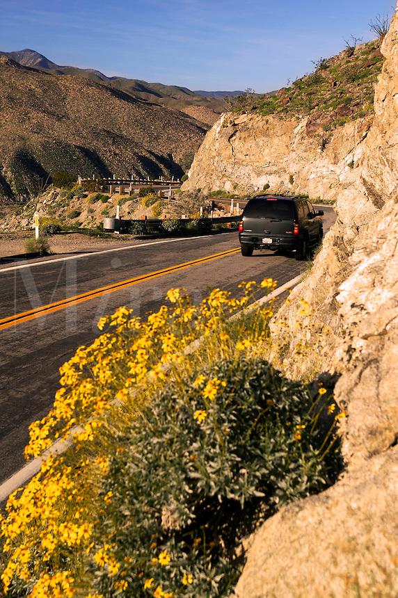 Brittlebush (Encelia farinosa) along the road S3 at Yaqui Pass, Anza-Borrego Desert State Park, California