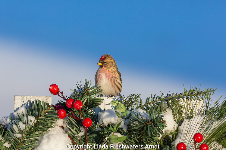 Male common redpoll perched on a festive backyard fence.