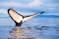 humpback whale fluke, Megaptera novaeangliae, Frederick Sound, Alaska, USA, Pacific Ocean