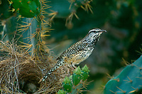 597989016 a wild cactus wren capylorhynchus brunneicacapilis perches on an opuntia plant near its stick nest in the rio grande valley of south texas