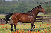 Bob, ANIMALS, REALISTISCHE TIERE, ANIMALES REALISTICOS, horses, photos+++++,GBLA4390,#a#, EVERYDAY