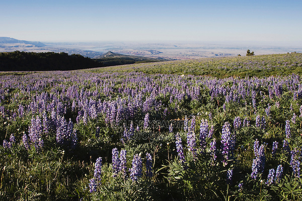 Silky Lupine (Lupinus sericeus), Pryor Mountains, Montana, USA