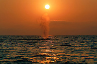 Blue Whale (Balaenoptera musculus) surfacing at sunset in the offshore waters of Santa Monica Bay, California, USA.