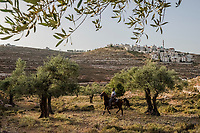 Horse trainer Ahmad Dabas, 32 rides a pure breed Arabian horse, named Apollo, at the Al-Obeid Stud on June 07, 2016 near the village of Abu Kash, in the West Bank, Israeli-occupied territories. <br /> Photo Daniel Berehulak for the New York Times
