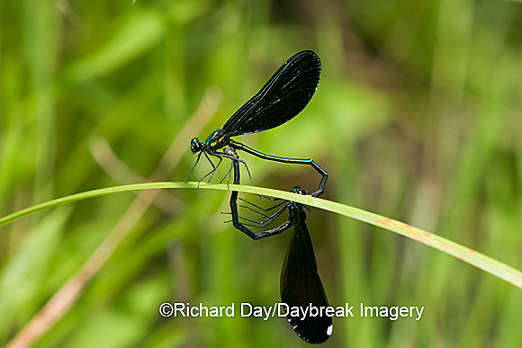 06014-002.18 Ebony Jewelwing (Calopteryx maculata) male & female in copulation wheel, Lawrence Co. IL