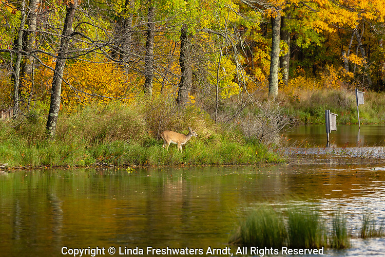 White-tailed deer browsing on the shoreline of a wilderness lake in northern Wisconsin.