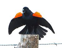 Red-wing blackbird displaying