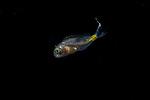 Fish ID Plz 9-3-18-9327