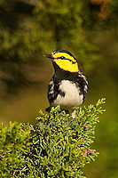 591850033 a wild federally endangered male golden-cheeked warbler setophaga chrysoparia - was dendroica chrysoparia - perches in a fir tree on los madrones ranch near austin travis county texas