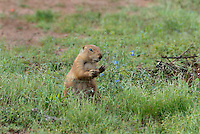 673010032 a wild black-tailed prairie dog cynomis ludovicianus in a small prairie dog town on empire ceienega natural conservation area pima county arizona
