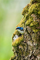 Tree swallow (Tachycineta bicolor) nest.  Pacific Northwest.  May..