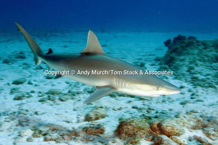 Blacknose shark (Carcharhinus acronotus) St Maarten, Netherland Antilles, Caribbean Sea.