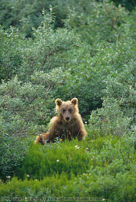 Grizzly bear in summer tundra, Denali National Park, Alaska