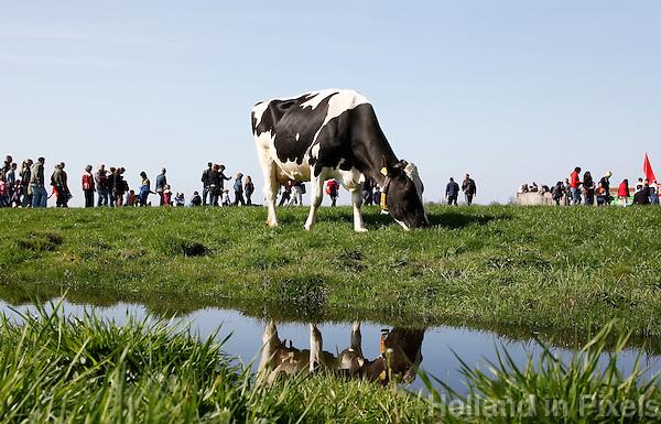 Open Dag op een biologische boerderij. Koe graast buiten in de wei