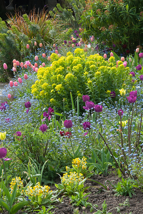 'Menton' tulips, cowslips, forget-me-nots, and euphorbia  in a mixed spring border at Gravetye Manor, early May.