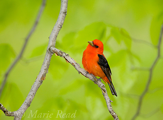 Scarlet Tanager (PIranga olivacea), male, Dryden, New York, USA