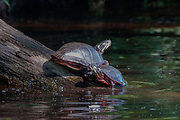Painted Turtles (Chrysemys picta), Hamilton Reservoir, Holland, Massachusetts, US