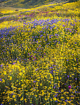 Carrizo Plain National Monument, California:<br /> Spring blooms of owls clover and fiddleneck backlit in low sunlight