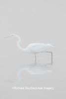 00688-02404 Great Egret (Ardea alba) in wetland in fog, Marion Co., IL