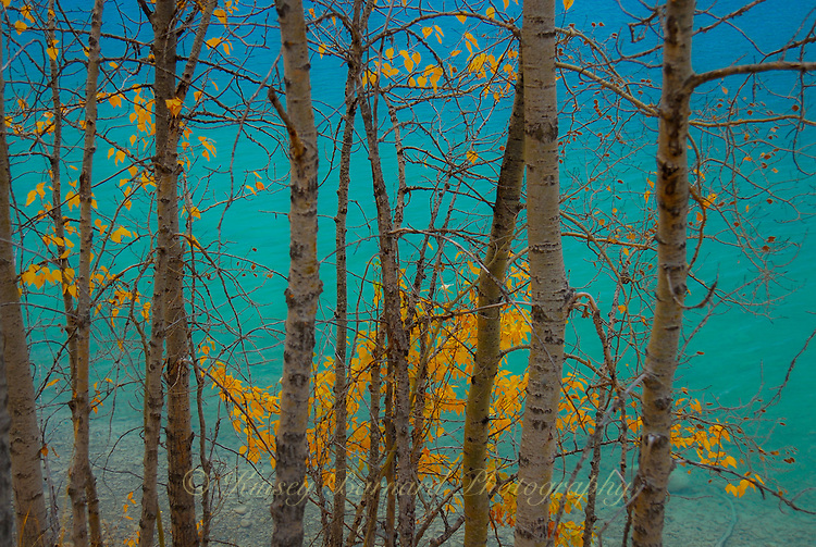 Looking through autumn aspen onto the glacial waters of Dickey Lake