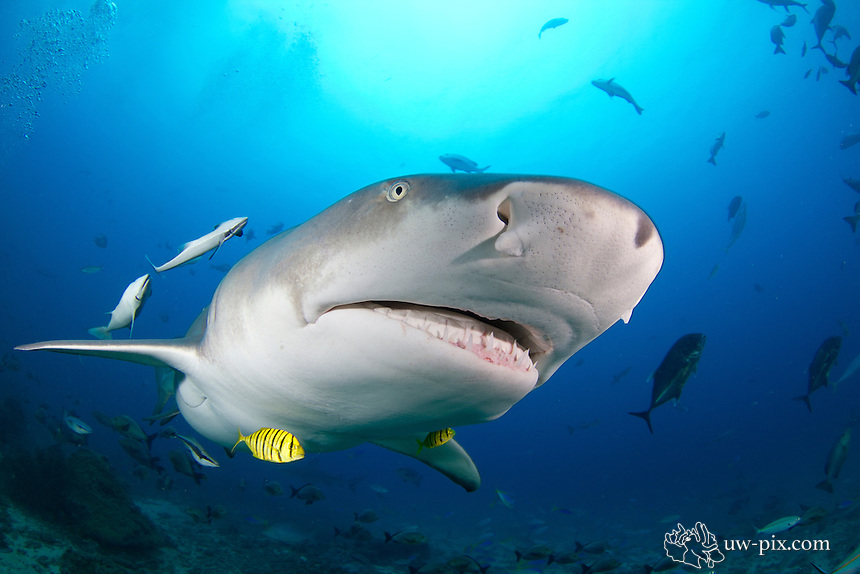 Sicklefin lemon shark Negaprion acutidens in Fiji | uw-pix com