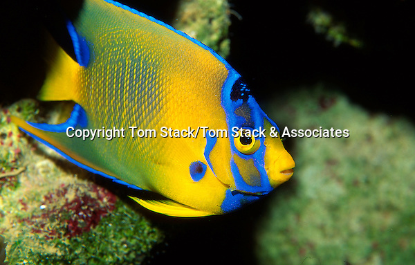 Juvenile Queen Angelfish, Holacanthus ciliaris