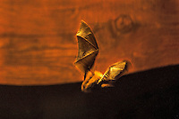 A little brown bat flies through the night sky at Zion National Parl, Utah