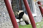 Foto: VidiPhoto<br /> <br /> RHENEN &ndash; In aanwezigheid van Chinese en Nederlandse hoogwaardigheidsbekleders, onder wie oud-premier J. P. Balkenende, hebben de Chinese ambassadeur Wu Ken en dierentuineigenaar Marcel Boekhoorn, dinsdag officieel het nieuwe reuzenpandaverblijf Pandasia (9000 vierkante meter) in Ouwehands Dierenpark in Rhenen geopend. Direct daarna mochten de twee panda&rsquo;s Xing Ya en Wu Wen hun nieuwe onderkomen verkennen. De dieren zijn op 12 april al gearriveerd maar verbleven tot dinsdag achter de schermen in quarantaine. Aan de komst van de panda&rsquo;s is zestien jaar voorbereiding aan vooraf gegaan. De bouw van Pandasia heeft 7 miljoen euro gekosten. De panda&rsquo;s blijven eigendom van de Chinese overheid. Ouwehands huurt ze voor 1 miljoen dollar per stuk per jaar. Bezoekers mogen de dieren vanaf woensdag alleen bezoeken met online tickets om parkeeroverlast te te grote drukte te voorkomen. Omdat er te weinig parkeerruimte is bij het park zijn buurgemeente niet blij met de komst van de panda&rsquo;s. Zij vrezen enorme verkeersoverlast.