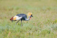 Grey-crowned Crane, Serengeti National Park, Tanzania, East Africa