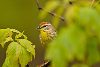 Palm Warbler (Setophaga palmarum) in maple tree.  Great Lakes Region.  May.