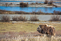 Bull muskox with shedding qiviut (fur) stands broadside on the summer tundra on Alaska's Arctic North Slope, Sag river in the distance.