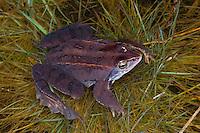 Moorfrosch, Moor-Frosch, Frosch, Rana arvalis, Moor Frog