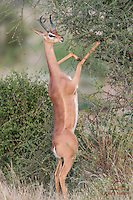 "Male Gerenuk (Litocranius walleri), known as the ""Giraffe Antelope"" for its long neck, reaches for Acacia leaves, Samburu"
