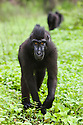 Crested black macaques crossing burn-slashed area near village, (Macaca nigra), Indonesia, Sulawesi; Endangered species, threatened through loss of habitat and bush meat trade, species only occurs on Sulawesi.